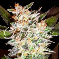 Auto Delicious Candy feminized, Delicious Seeds