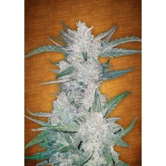 семена конопли сорт Auto Mexican Airlines feminized, Fast Buds