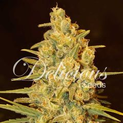 семена конопли сорт Critical Sensi Star feminized, Delicious Seeds