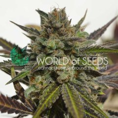 Northern Light x Skunk feminized, World of Seeds