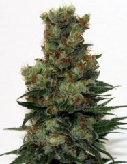 семена конопли сорт Ripper Badazz feminized, Ripper Seeds