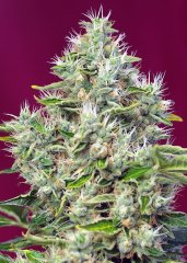семена конопли сорт San Fernando Lemon Kush SWS62 feminized, Sweet Seeds