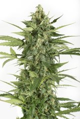 семена конопли сорт Auto Blue Cheese feminized, Dinafem Seeds