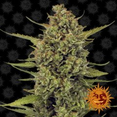 семена конопли сорт Acapulco Gold Feminised, Barney's Farm