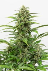 семена конопли сорт Auto Critical+ feminized, Dinafem Seeds