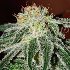 семена конопли сорт Black Russian feminized, Delicious Seeds
