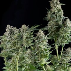 семена конопли сорт Northern Lighs feminized, Pyramid Seeds