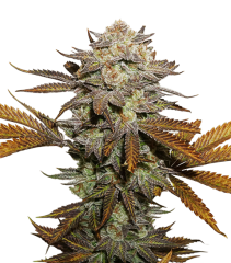 семена конопли сорт STICKY FINGERS FEMINIZED, Seedstockers