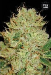 семена конопли сорт Auto Bigger Bud feminized, Bulk Seed Bank