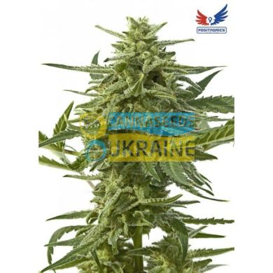 семена конопли сорт Auto Northern Haze Express feminized, Positronics Seeds