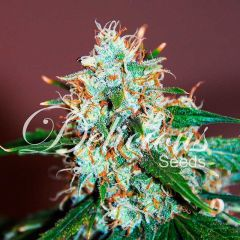 семена конопли сорт Critical Neville Haze feminized, Delicious Seeds