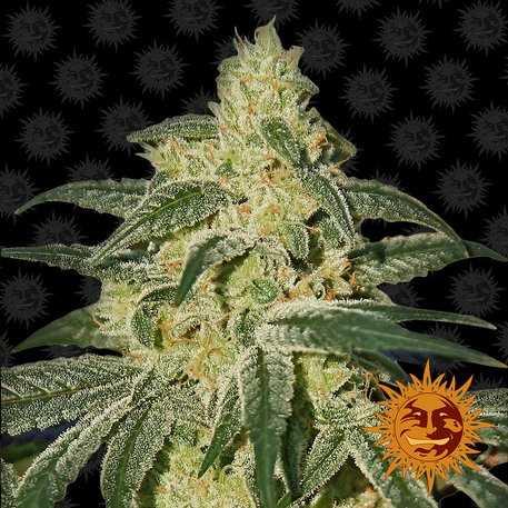 Купить семена конопли afghan марихуана в моче как убрать