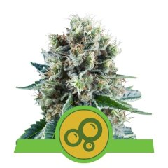 семена конопли сорт Auto Bubble Kush feminized, Royal Queen Seeds