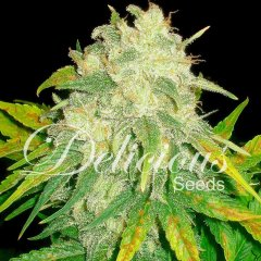 Auto IL Diavolo feminized, Delicious Seeds