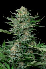 семена конопли сорт Industrial Plant feminized, Dinafem Seeds
