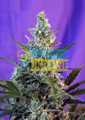 семена конопли сорт Auto Sweet Skunk SWS34 feminized, Sweet Seeds