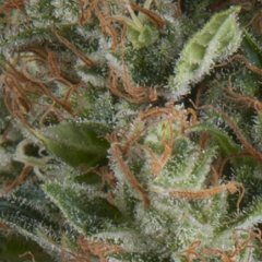 семена конопли сорт Auto Wembley feminized, Pyramid Seeds