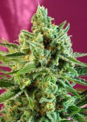 семена конопли сорт  S.A.D. Sweet Afgani Delicious CBD feminized, Sweet Seeds