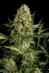семена конопли сорт Critical Cheese feminized, Dinafem Seeds
