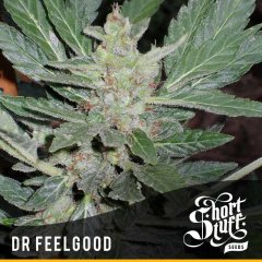 семена конопли сорт Dr. Feelgood Auto feminized, Short Stuff Seedbank