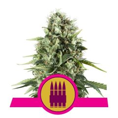 семена конопли сорт Royal AK feminized, Royal Queen Seeds