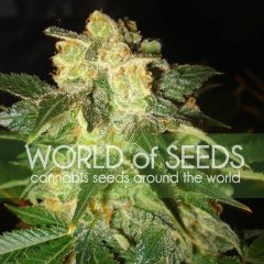 Auto Pakistan Ryder feminized, World of Seeds