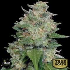 семена конопли сорт Bubba Kush x Kali China feminized, ACE Seeds