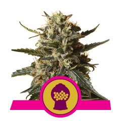семена конопли сорт Bubblegum XL feminized, Royal Queen Seeds