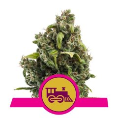 семена конопли сорт Candy Kush Express Fast feminized, Royal Queen Seeds