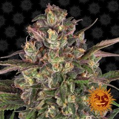 семена конопли сорт Peyote Critical feminised, Barney's Farm