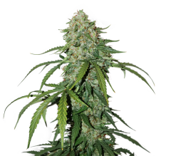 семена конопли сорт CBD 1:1 SILVER LIME HAZE FEMINIZED, Seedstockers