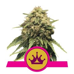 семена конопли сорт Special Queen 1 feminized, Royal Queen Seeds