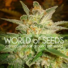 Star 47 feminised, World of Seeds