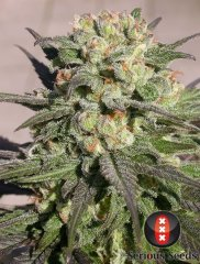 Warlock feminized, Serious Seeds