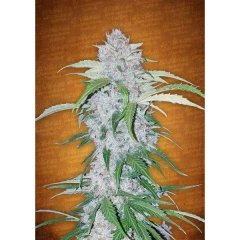 семена конопли сорт Auto Six Shooter feminized, Fast Buds