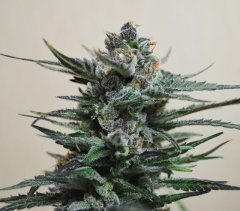 Auto Blueberry feminized, Amsterdam Seeds