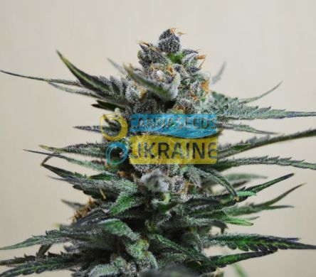 семена конопли сорт Auto Blueberry feminized, Amsterdam Seeds