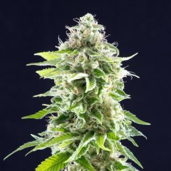 семена конопли сорт Cookies Haze feminized, Kannabia Seeds