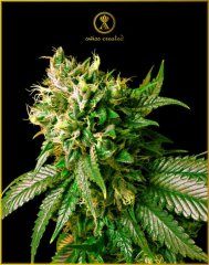 Strong Skunk feminised, Anaсonda Seeds