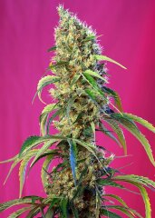 семена конопли сорт Black Jack CBD feminized, Sweet Seeds