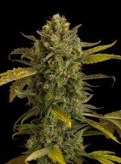 семена конопли сорт Auto Blue Kush feminized, Dinafem Seeds
