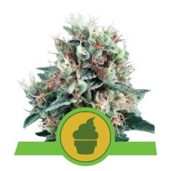 семена конопли сорт Auto Royal Creamatic feminized, Royal Queen Seeds
