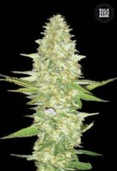 семена конопли сорт Perfect Power Plant feminized, Bulk Seed Bank