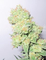семена конопли сорт Y Griega CBD feminized, Medical Seeds